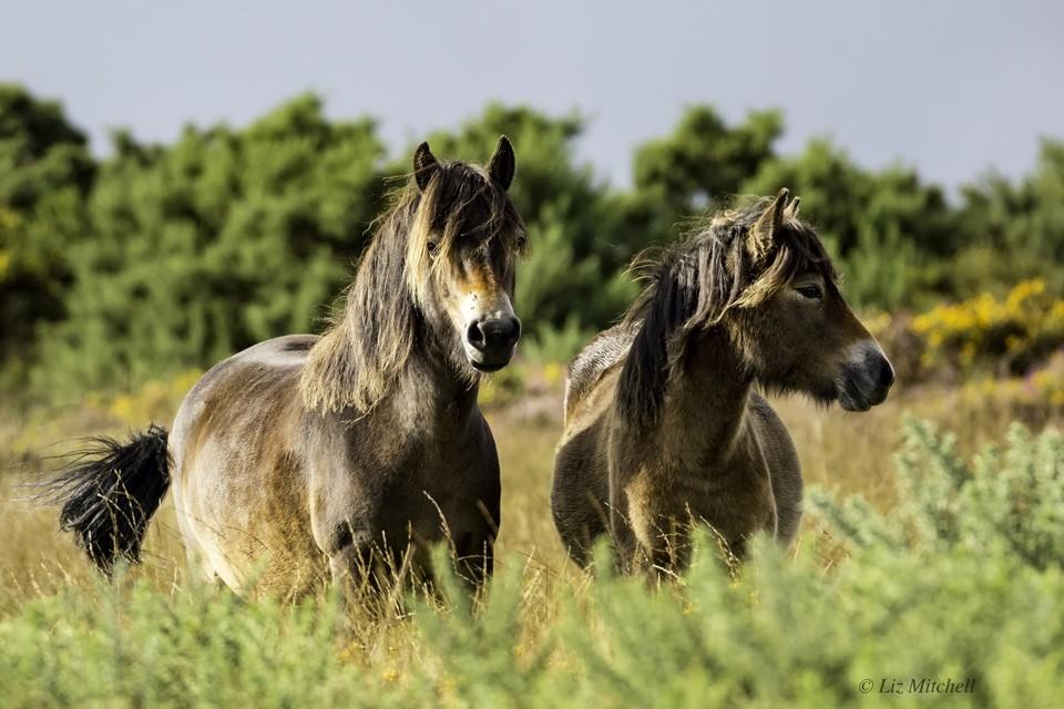 Two Beautiful Exmoor Ponies Together - Exmoor Wildlife Safaris